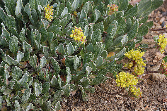 Eriogonum flavum - Colorado Wildflowers