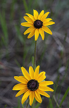 Rudbeckia hirta colorado wildflowers black eyed susan is a common wildflower in meadows and forests of the foothills and mountains deep yellow ray flowers surround a dark center mightylinksfo