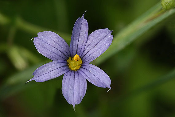 Sisyrinchium montanum colorado wildflowers sisyrinchium montanum grows in moist grassy meadows flowers are blue purple with a yellow center plants grow to a height of 20 inches mightylinksfo