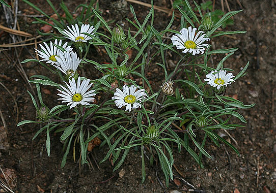 Townsendia grandiflora - Colorado Wildflowers